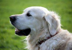 Hundefoder fra Royal Canin os Simbas Foder